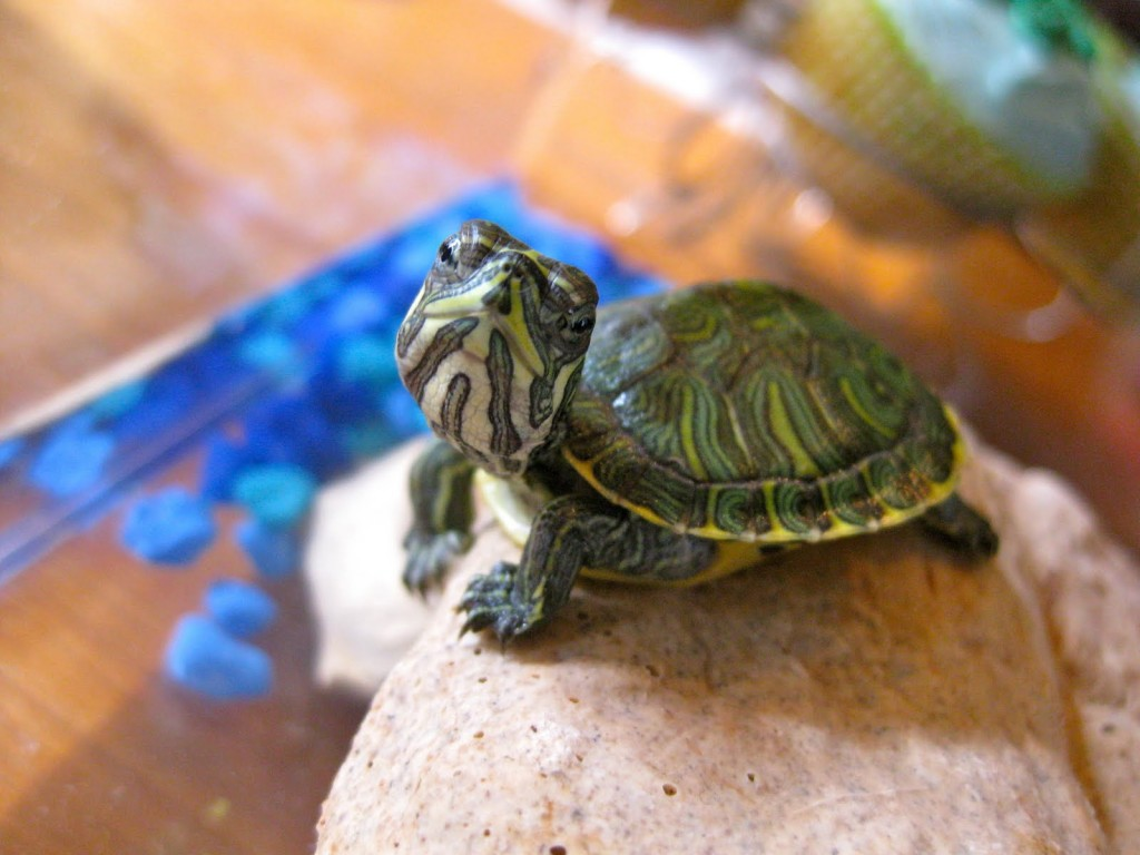 Mini Turtles In Fish Tanks : Let Your Pets Have Their Own Paradise WishForPets