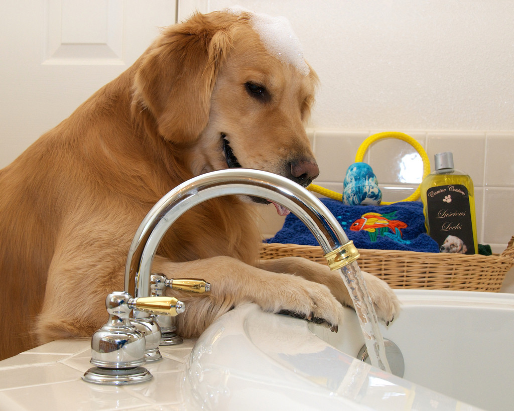 groomed backgrou bath funny photo on taking the in a stock image white of pomeranian well grooming dog shower