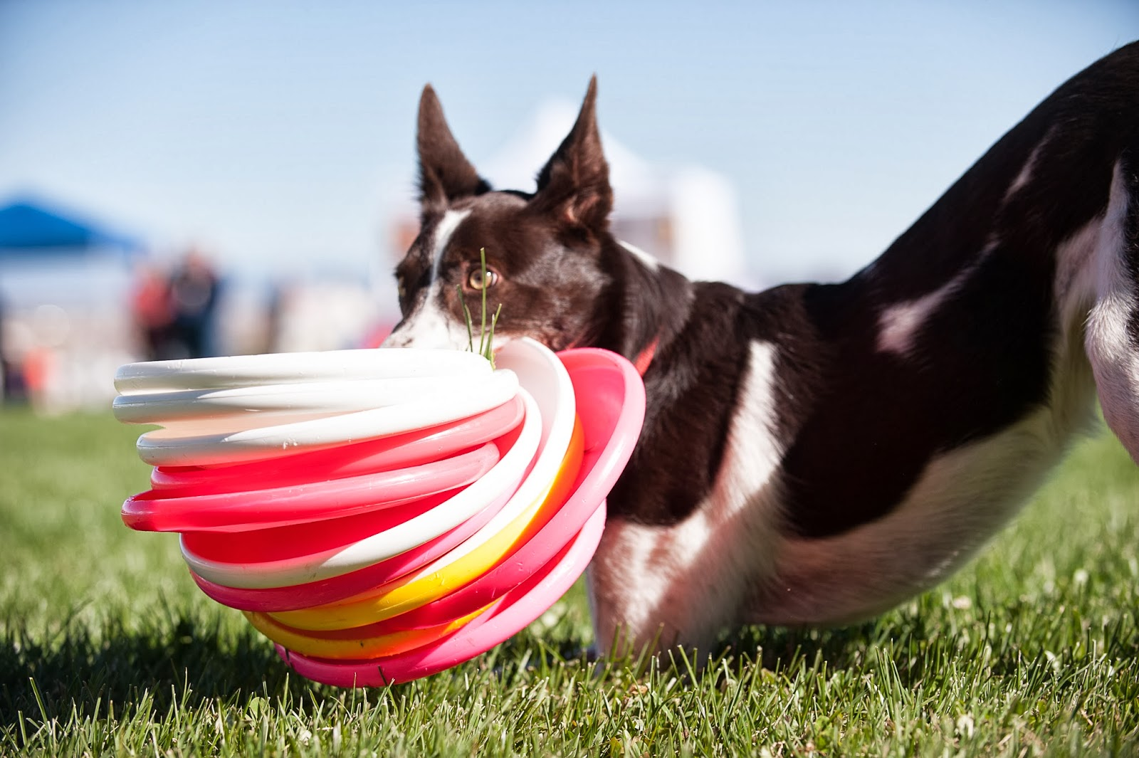Slide The Frisbee Around On The Ground In Front Of Your Dog Move It Back  And Forth Near Him, Where He Can Easily Grab It Likewise, Encourage Him To  Take