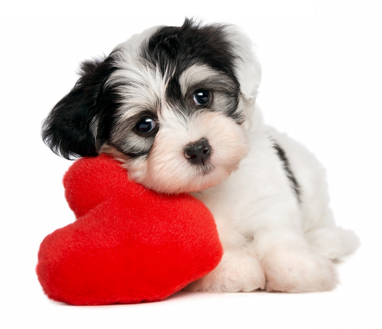 Valentine S For Dogs Toys : Special valentine s day for your doggie wishforpets