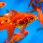 gold fish feeding