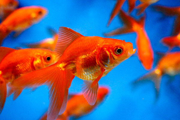 How to feed your gold fish wishforpets for Can you eat koi fish